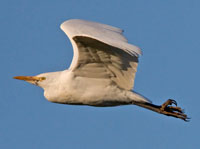 Cattle Egret, Oxfordshire, Jan 2009