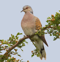 Turtle Dove, Otmoor, Oxon, UK