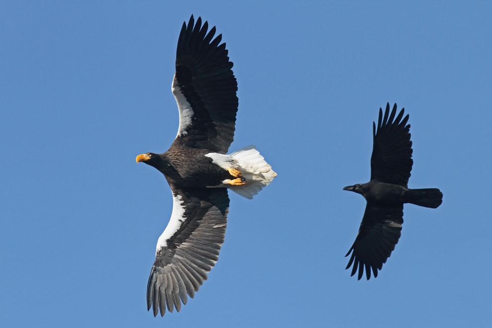 Stephen Burch's Birding & Dragonfly Website - Steller's Sea