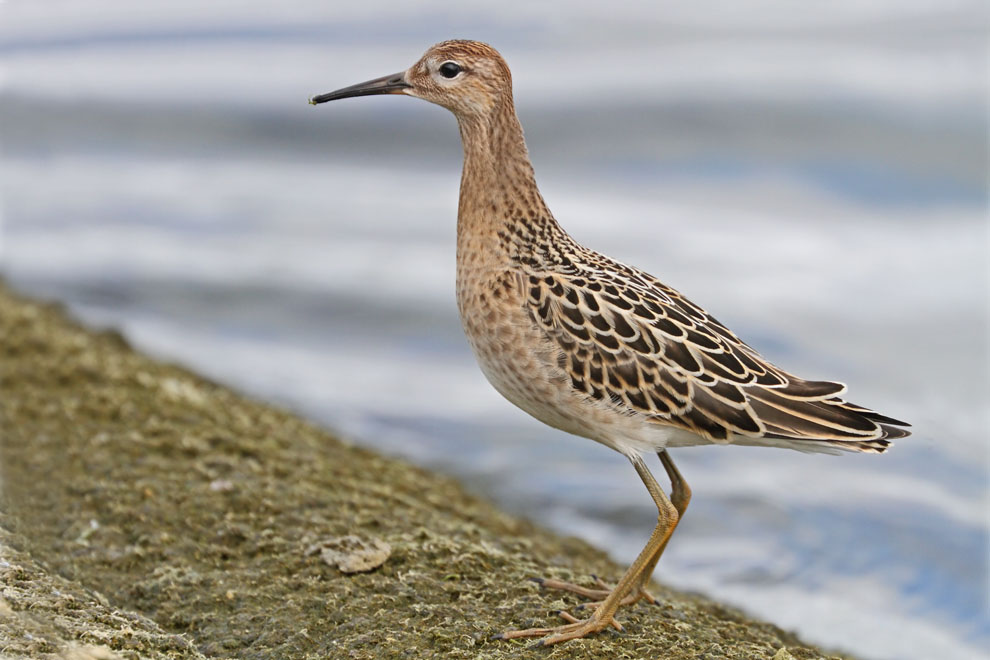 Stephen Burch's Birding & Dragonfly Website - Ruff