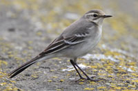 Citrine Wagtail at Farmoor!!