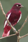 Pompadour Cotinga, Cristalino Jungle Lodge, Brazil