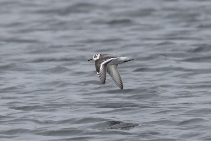 stephen burch s birding website oxfordshire bird pics autumn  grey phalarope radley gp
