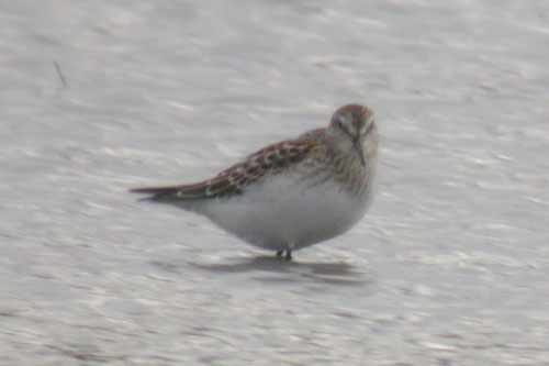 stephen burch s birding website oxon bird pics autumn  white rumped sandpiper radley gravel pits