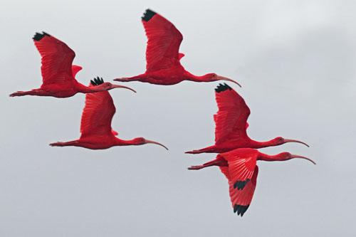 scarlet ibis essay hook
