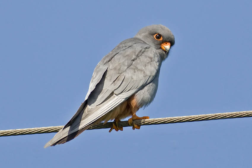stephen burch 39 s birding website red footed falcon. Black Bedroom Furniture Sets. Home Design Ideas