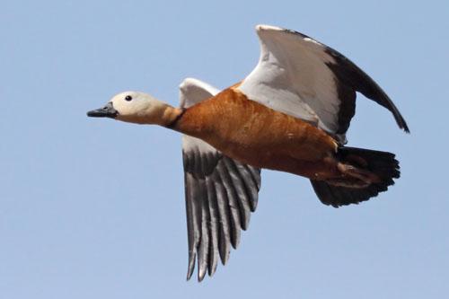 Ruddy Duck Flying