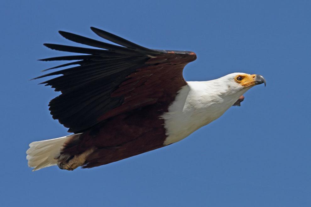 Stephen Burch's Birding & Dragonfly Website - African Fish Eagle
